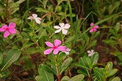Rose periwinkle, colorful decoration plant flower and medical herb. Common flower plant for house decoration stock image
