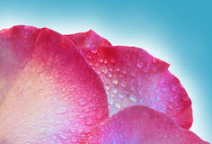 Rose petal background Royalty Free Stock Image