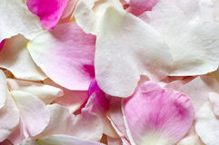 Rose petal background Royalty Free Stock Photos