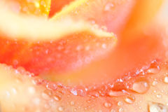 Rose petal close up Royalty Free Stock Images