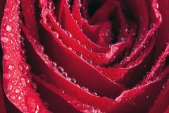 Rose Petal Droplets Stock Photos
