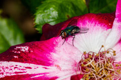 Rose Petal Fly Royalty Free Stock Photography