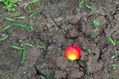 Rose petal on the ground Royalty Free Stock Image