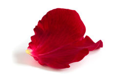Rose petal. Red rose petal isolated on white background Royalty Free Stock Photography