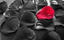 Rose Petal Tears rossa Fotografia Stock Libera da Diritti