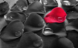 Rose Petal Tears rouge Photographie stock libre de droits