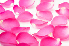 Pink rose petal on the white Royalty Free Stock Photography