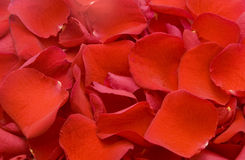 Rose petals. Red rose petals forming texture Royalty Free Stock Photography