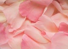 Rose petals. Close-up view of pink rose petals royalty free stock photo