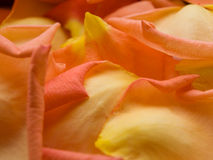 Rose petals. Close-up view of orange rose petals stock images