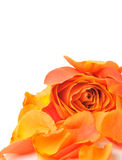 Rose with petals. It is isolated on a white background royalty free stock image