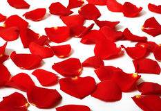Rose petals. Romantic rose petals scattered around Royalty Free Stock Images