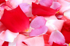 Rose Petals. Pink, purple and red rose petals on a white background royalty free stock image
