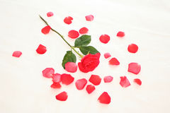 Rose in petals. Red roses bouquet .Flowers for some celebration date Royalty Free Stock Photo