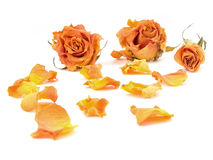 Rose petals. Scattered red rose buds and petals over white background Stock Image