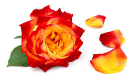 Rose with petals Royalty Free Stock Image