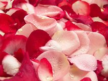 Rose Petals. Pink and red rose petal background represent peace, love and relaxation stock photos