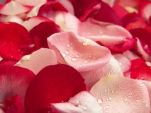 Rose Petals. Pink and red rose petal background represent peace, love and relaxation royalty free stock photography