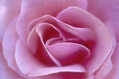 Rose petals. Petals of pink rose on approach Stock Images