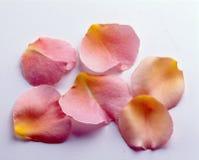 Rose petals Royalty Free Stock Photography