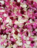 Rose Petals. Background of Rose petals in different colors of red and pink Stock Photo