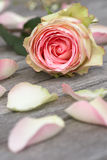 Rose with petals Stock Photos