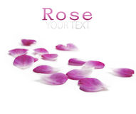 Rose petals. Pink rose petals over white background royalty free stock images