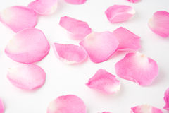 Rose Petals. On white background royalty free stock photos