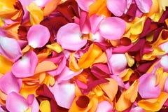 Rose Petals foto de stock royalty free