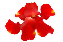 Rose petals. Isolated on the white Royalty Free Stock Image