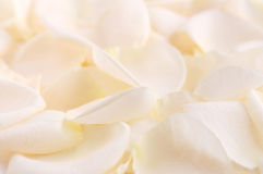 Rose petals. Abstract background of a fresh beige rose petals stock images