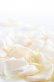 Rose petals. Abstract background of fresh white rose petals stock image