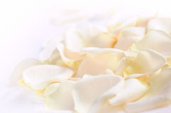 Rose petals. Abstract background of fresh white rose petals stock photo