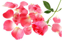 Rose and petals Royalty Free Stock Images