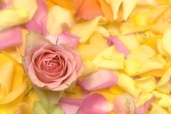 Rose petals Royalty Free Stock Image