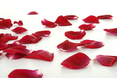 Rose petals. Group of red rose petals, isolated on white background royalty free stock images