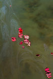 Rose Petals and Ashes On Murky Water Stock Photos