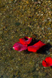 Rose Petals With Ashes On A Rocky Shore Royalty Free Stock Photo