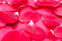 Rose petals background Stock Photos