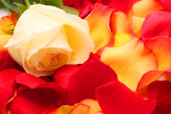 Rose  on a petals. Background Stock Image