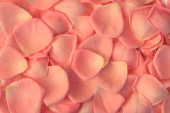 Rose petals background. Beautiful pink rose petals background royalty free stock image