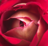 Rose Petals Background. A background with a closeup view of red rose petals Royalty Free Stock Images