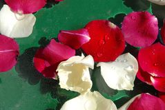 Rose petals background. White and red rose petals floating in water over green background royalty free stock images