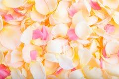 Rose petals background. Beautiful festive yellow pink rose petals background stock image