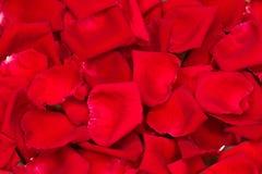 rose petals background stock photo