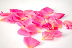 Rose petals for background. A collection of pink rose petals on a white background royalty free stock photography