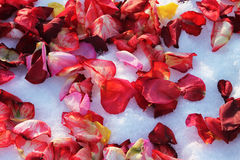 Rose petals. Background of multi-colored rose petals on white snow Stock Photography