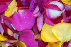 Rose Petals for Background Royalty Free Stock Image