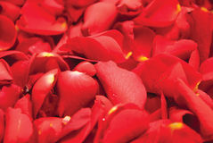 Rose petals background. Red rose petals close-up background Royalty Free Stock Photos
