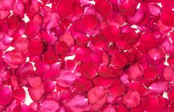 Rose Petals background. Red rose petals background texture royalty free stock photo